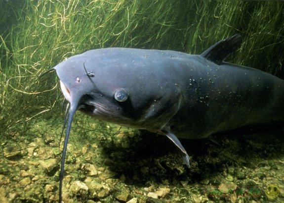 Британский рыбак поймал гигантского сома
