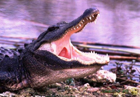 В Австралии рыбак сумел отбиться от напавшего на него крокодила