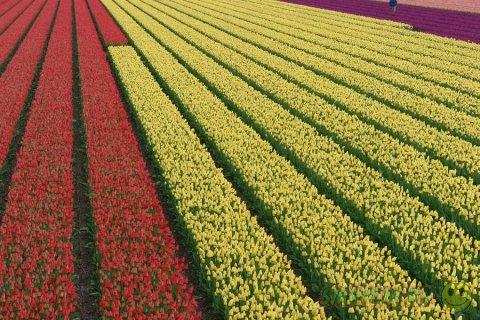 Яркие краски тюльпанов