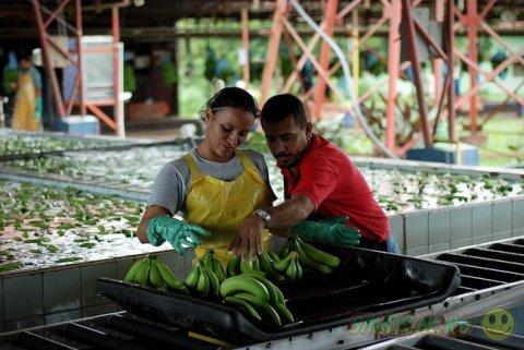 Как собирают бананы в Коста-Рике