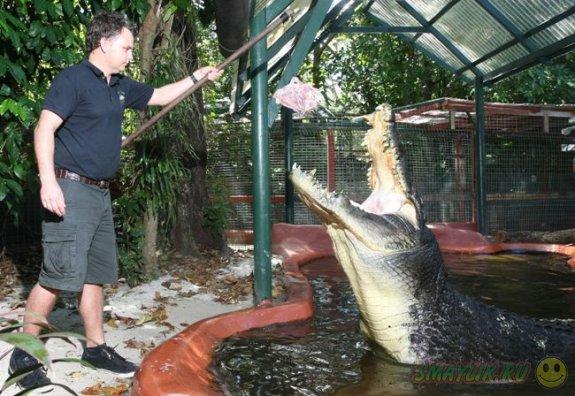 В Австралии крокодил-долгожитель  получил в подарок  торт из цыплят