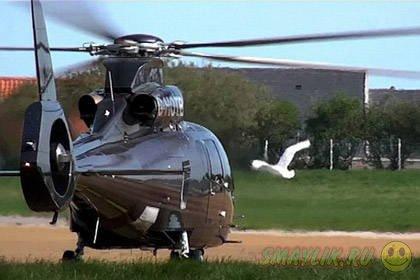 В Британии лебедя-кликуна уличили в симпатии к вертолету
