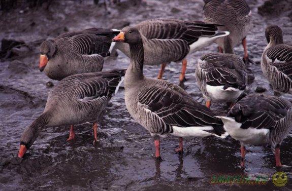 В Алтайском крае откроется первый в мире музей, посвященный гусям