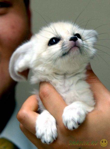 Маленькая лиса фенек
