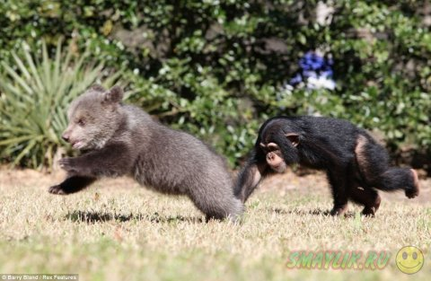 Дружеские отношения медвежонка Бам Бам и шимпанзе Вали