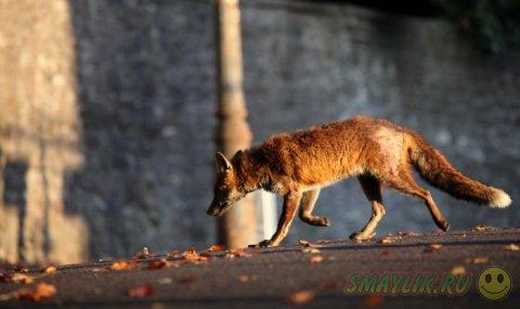 Лисица в обьективе британского фотографа Иэн Уэйда