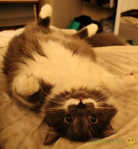 Знаменитые усы у кота Гамильтона