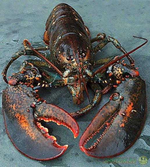 В Британии в океанариуме поселился гигантский омар