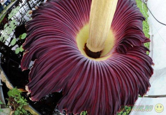 В ботаническом саду Бельгии расцвел цветок Titan Arum
