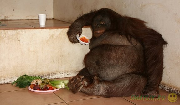 В заповеднике Малайзии обезьяну Джеки посадили на диету из овощей и фруктов