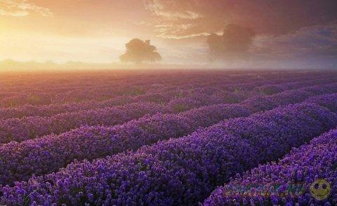 Лавандовые поля в Сомерсет