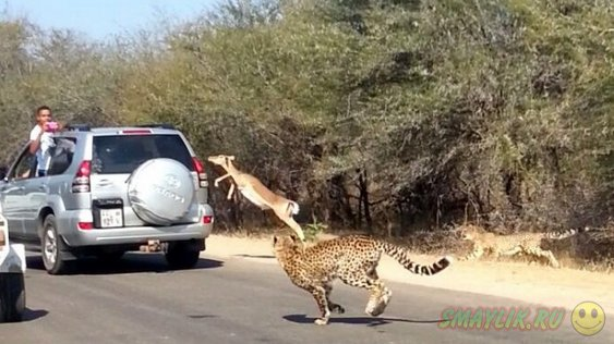 В ЮАР антилопа сумела спрятаться от охотившихся на нее гепардов