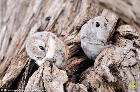 Удивительные зверьки белки-летяги