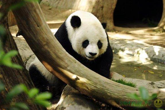 В зоопарке Атланты в США у панды родилась двойня