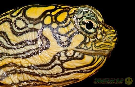 В зоопарке США появилась на свет двухголовая черепаха