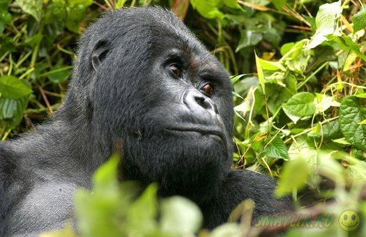Австралия: Патриарх семейства горилла Кибабу уходит на пенсию