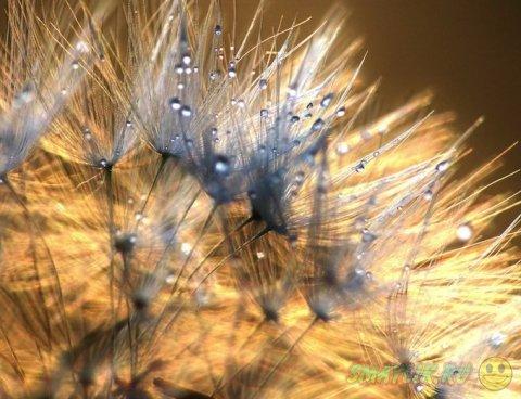 Капельки росы на одуванчиках