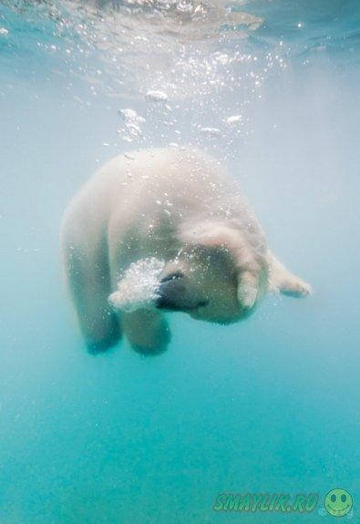 Неуклюже-косолапый белый мишка, плавающий под водой
