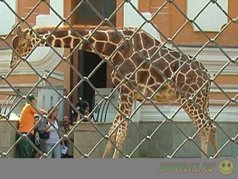 В Московском зоопарке именины  у Самсона