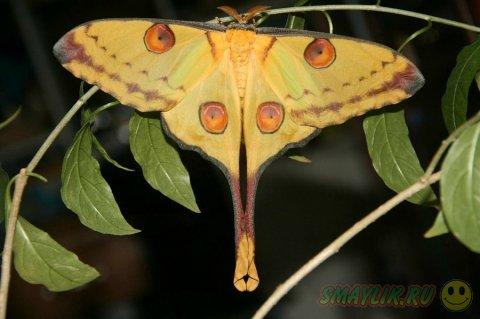 Красивая ночная бабочка -  Мадагаскарская комета