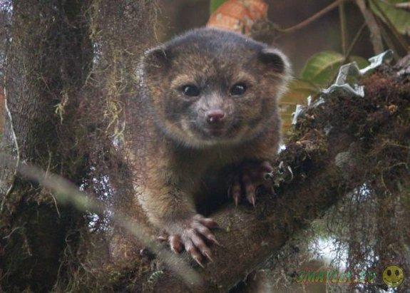 В колумбийских лесах ученые открыли новый вид млекопитающих