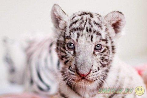 В Перу в зоопарк привезли белого бенгальского тигренка