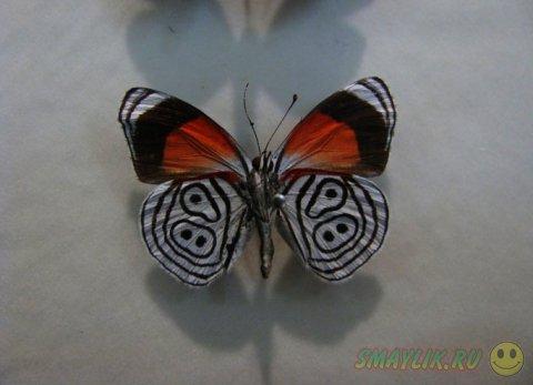 Бабочка Diaethria neglecta с числом «89» на крыльях