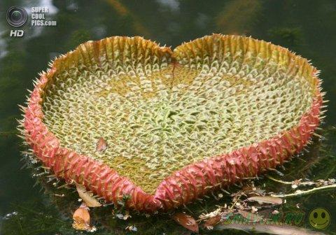 Виктория амазонская - самое большое цветковое растение на Земле