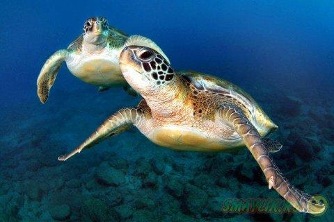 Плавающие под водой  черепахи у берегов Канарских островов