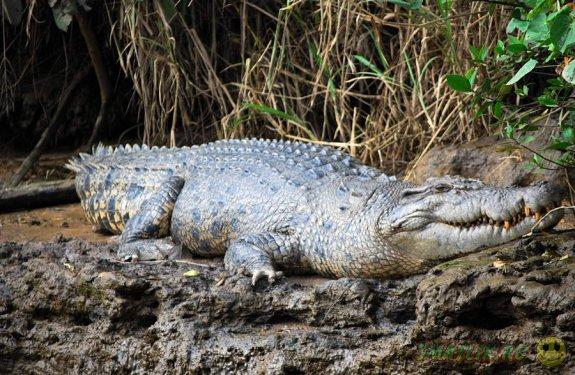 Турист две недели  скрывался на острове от преследовавшего его крокодила