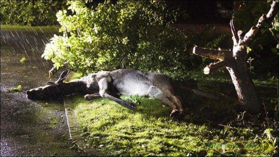 В пригороде Стокгольма лоси не пустили мужчину в дом