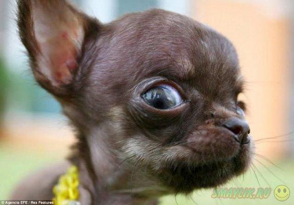Чихуахуа из Пуэрто-Рико самая крошечная собака на планете
