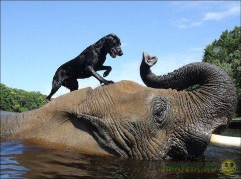 Слон и лабрадор весело проводят время вместе