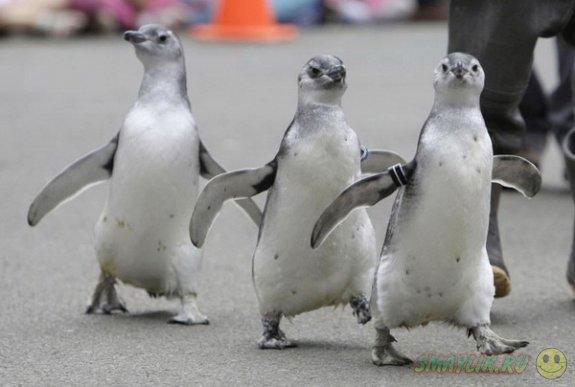 В Детройте построят вольер для пингвинов