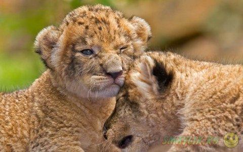 Снимки  детенышей львов и леопардов