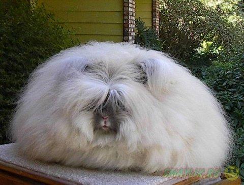 Милые пушистые ангорские кролики