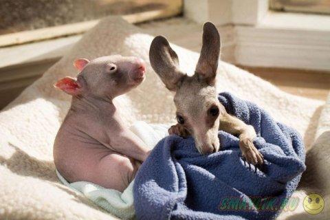 Милые малыши - кенгуренок и  вомбат
