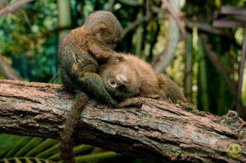 Карликовая игрунка - самая маленькая  на Земле обезьянка