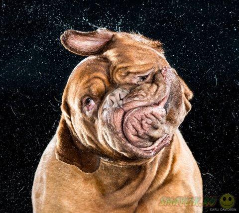 Выразительные фото отряхивающихся собак