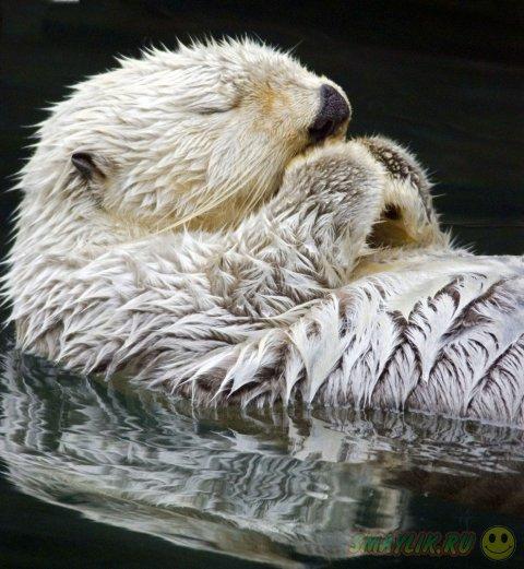 Пробуждение выдры на поверхности водоёма
