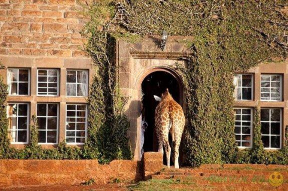 В Кении можно пригласить на завтрак жирафа