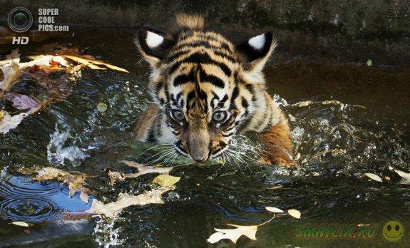 Первое купание суматранских тигрят в зоопарке Вашингтона