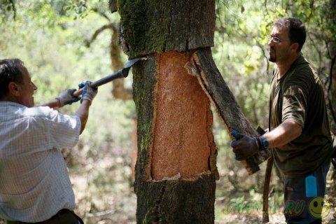 Производство винных пробок в дубовых лесах los Alcornocales
