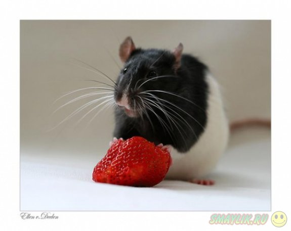 Такие очаровательные крыски