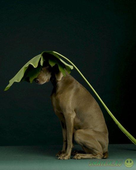 Креативные фотографии собак от Уильяма Вегмана