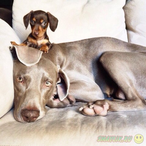 Дог Харлоу и щенок таксы  - лучшие друзья