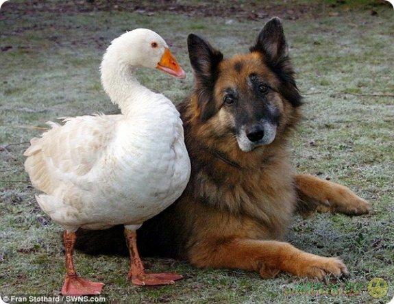 Гусыня Джеральдин  спасла от усыпления пса по кличке Рекс