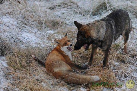 Пес Коппер и рыжий лис Тод