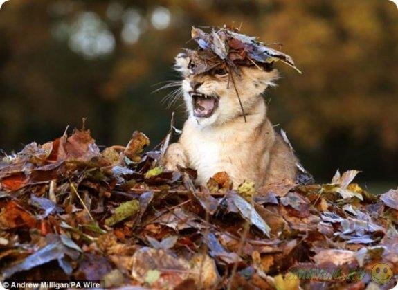 Львенок Карис играет в опавших листьях