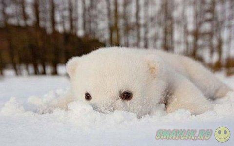 Медвежонок Сику впервые знакомится со снегом